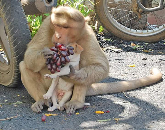 The monkey mom took care of the puppy as if it were her own.