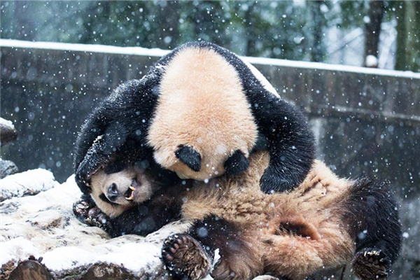 Two pandas at a zoo roll and tumble as they become excited to see the first snow in 2016 in Hangzhou, East China