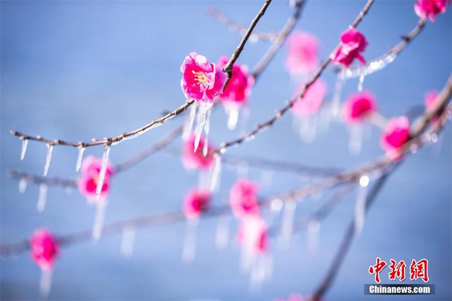 Hangzhou : la beauté des fleurs artificielles gelées au bord du lac de l