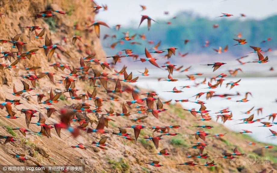 En octubre de 2015, en Zambia, miles de abejarucos gorgirrojos de color vivo se reunieron  en el lugar de cría a la orilla del río Luangwa en el Parque Nacional de South Luangwa .