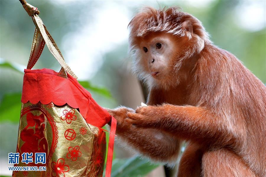 Celebrations are already in full swing at Singapore Zoo, as the Year of Monkey approaches.