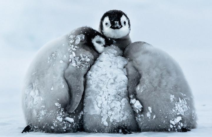 La temperatura de la Antártida llegó a 24 grados bajo cero. Los bebés de pingüino emperador se abrazaron para resistir el frío.