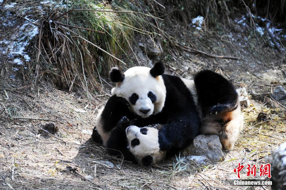 """Tres pandas nacidos en el año 2015 en la zona protegida de Wolong de la provincia de Sichuan participaron en un entrenamiento en el campo. Los 3 pandas """"aprendienron"""" las """"habilidades"""" para vivir en el campo."""