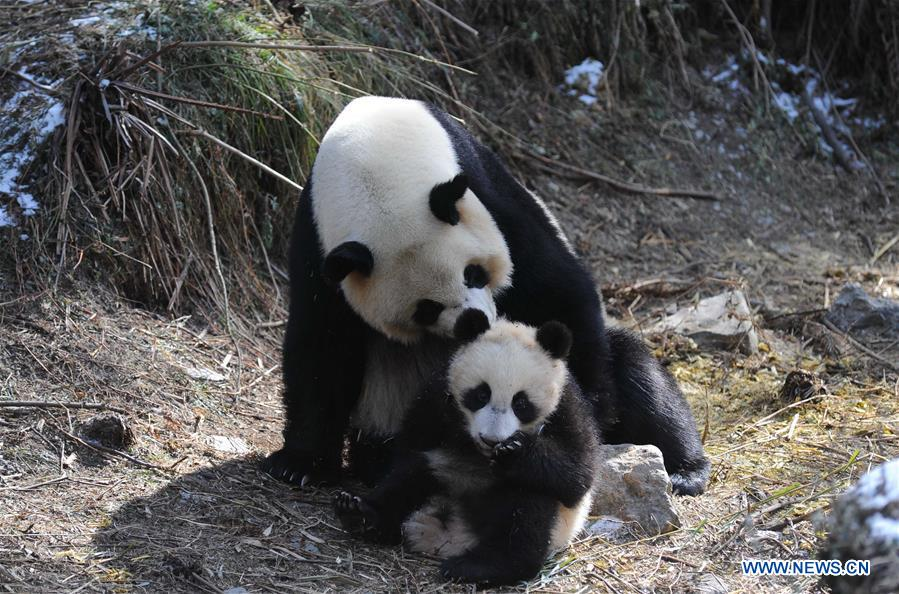 Giant panda baby Xinnier is seen during a training at Hetaoping field training base in Wolong, a major giant panda habitat in southwest China