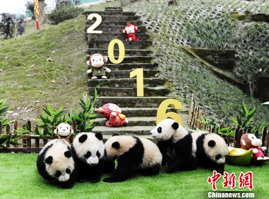 Panda cubs make debut in time for Chinese New Year