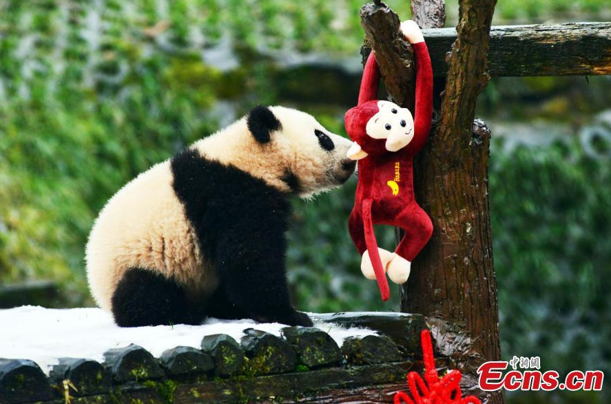 Un panda géant joue avec un jouet dans la Base des gorges de Bifeng du Centre chinois de protection et de recherche sur les pandas géants, à Ya