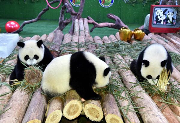 "Тройня панд в сафари-парке ""Чанлун"" готова к встрече Нового года"