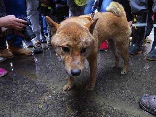 A little Shiba Inu named Bagel was alive and was pulled from under the rubble of a 17-story building that collapsed during the earthquake that rocked Taiwan a week ago.