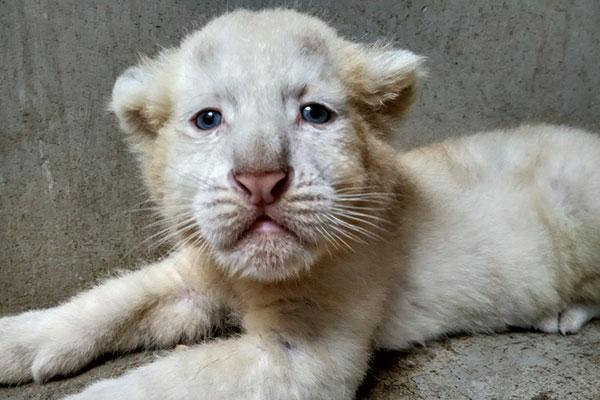 White tiger cubs meet the public