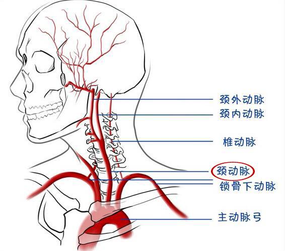 大脑动脉结构图