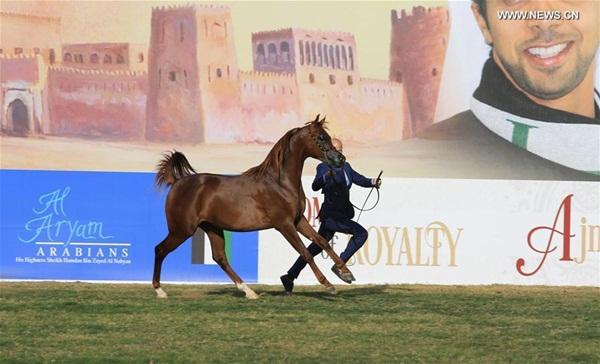 انطلاق بطولة أبوظبي الدولية لجمال الخيول العربية 2016