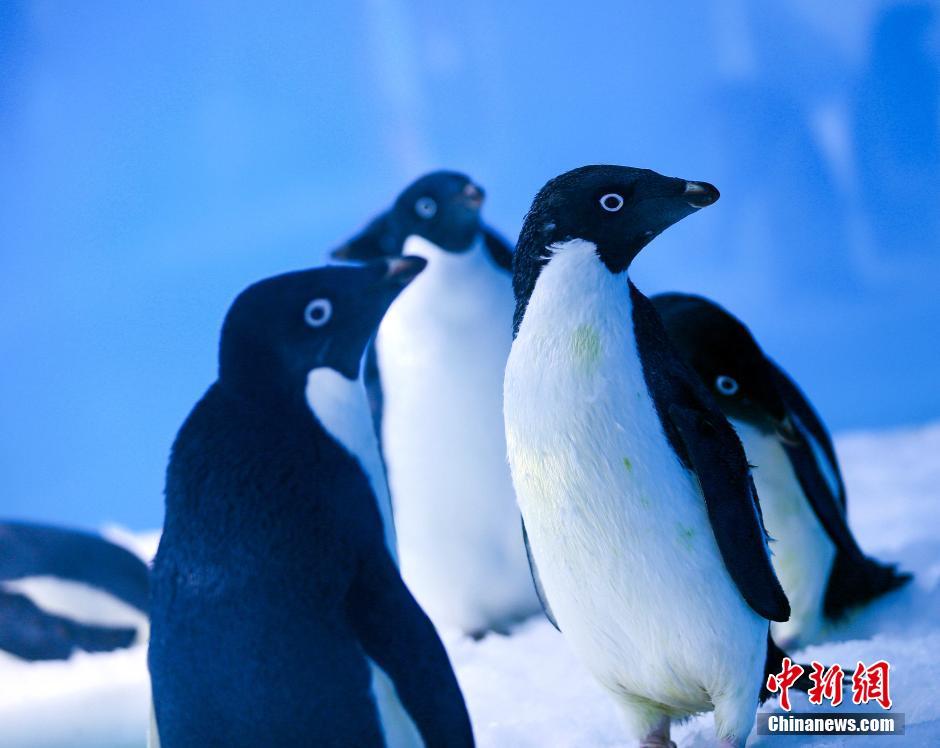 Les « Pingouins de Madagascar » en vrai à Chongqing !