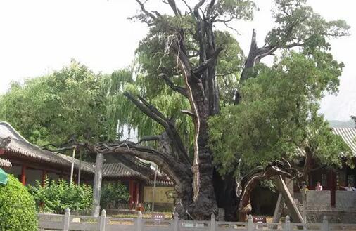 世界上最古老的树