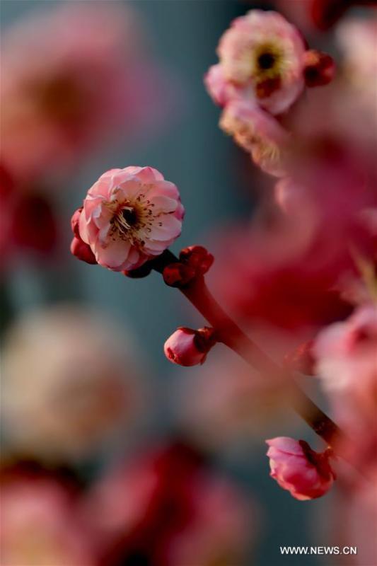 Les fleurs de prunier ont éclos dans l