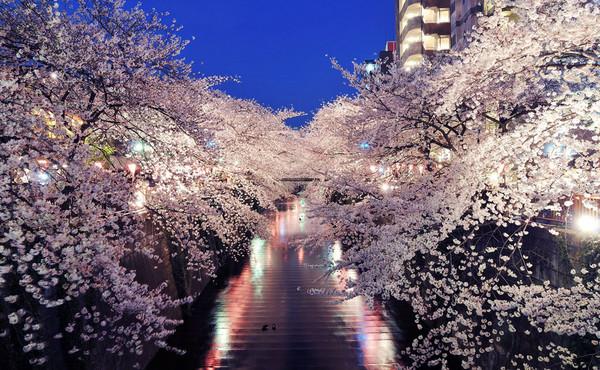 日本樱花_日本:樱花
