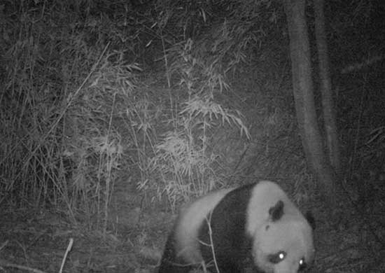 A wild adult panda was spotted in Huangguanshan National Park in Northwest China