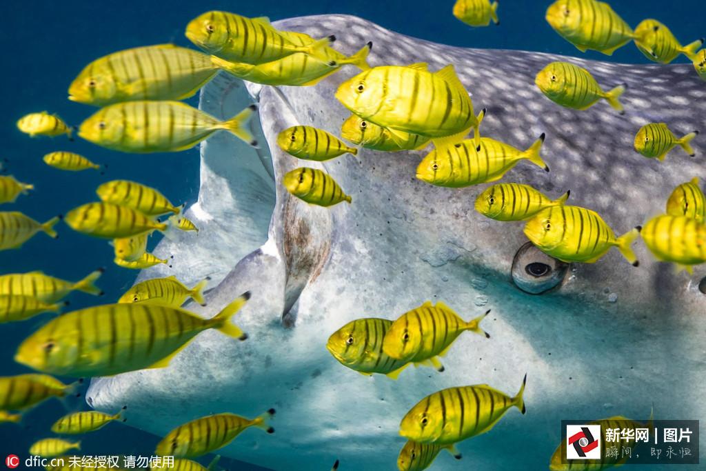Un requin-baleine attrape de petits poisson