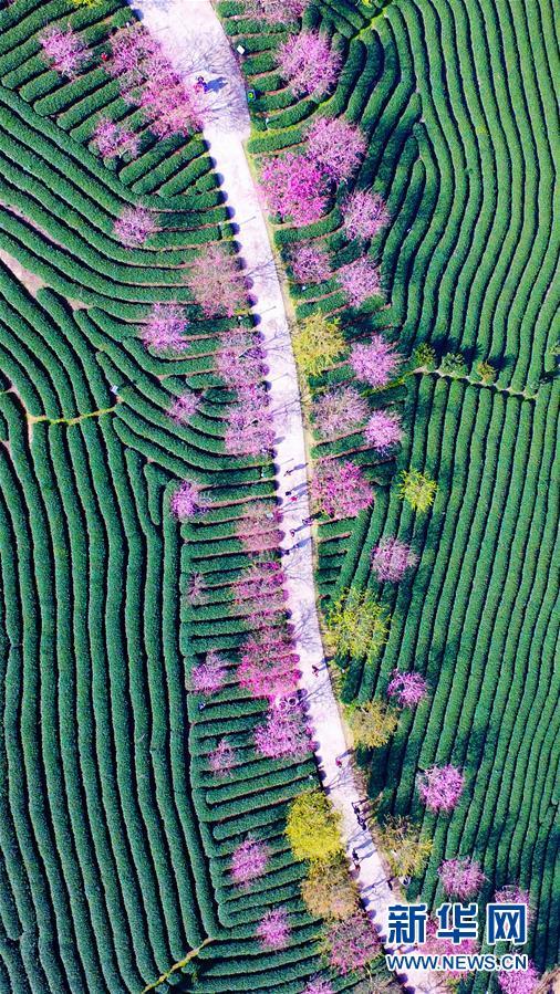 Fujian : 150 000 cerisiers en fleur dans les plantations de thé