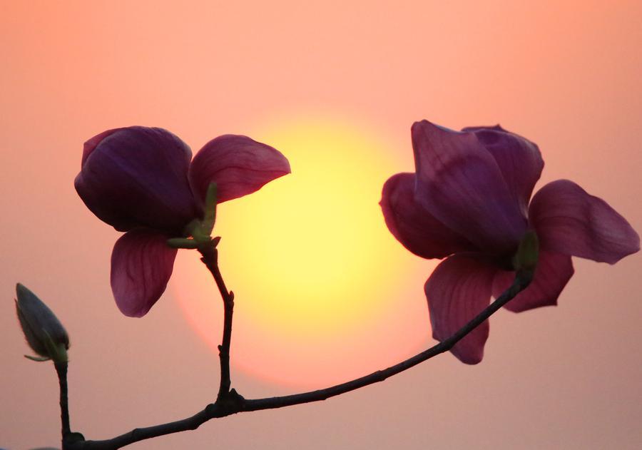 1/14Orchidées et coucher du soleil, à Hengyang, la province du Hunan, le 1er mars 2016.