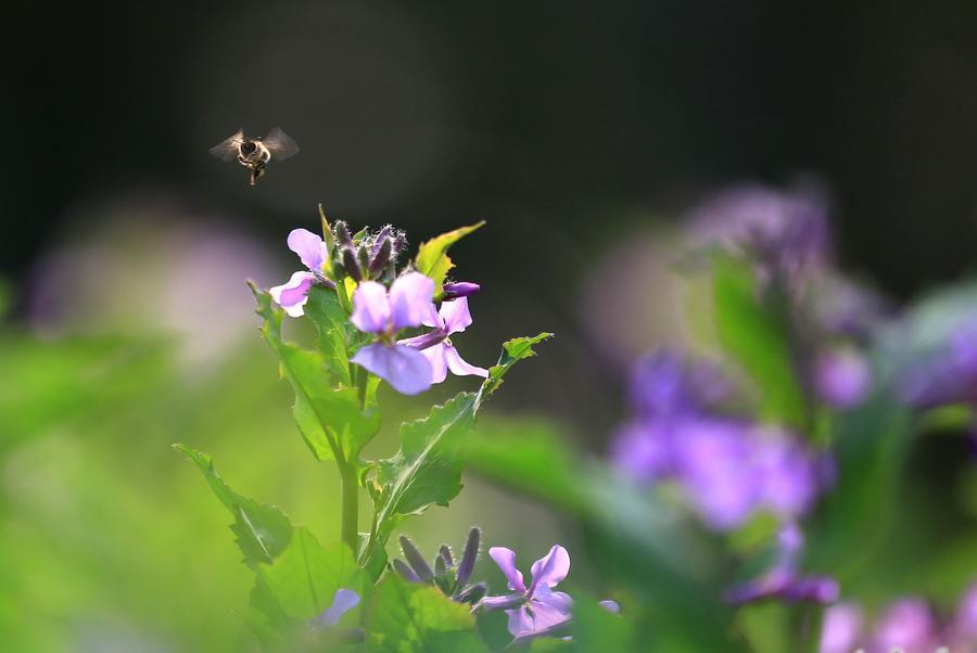 2/14Survol d'une abeille au-dessus d
