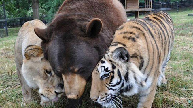Un lion, un ours et un tigre deviennent des amis inséparables
