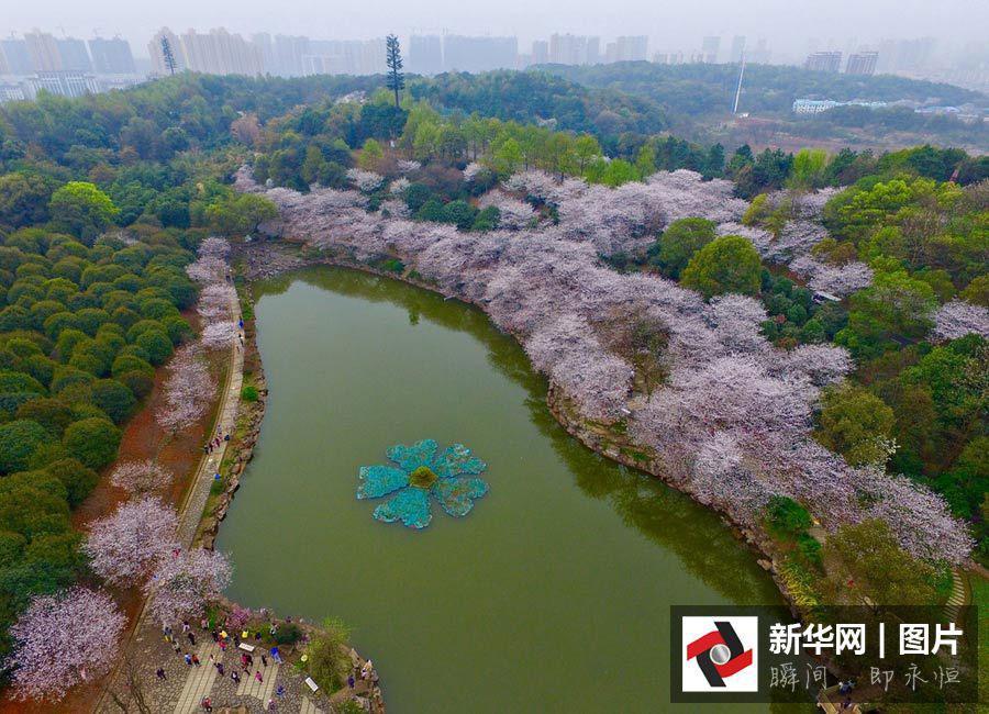 Vues aériennes de cerisiers en fleurs dans le Hunan