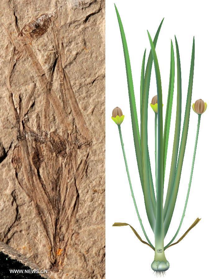 Китайские ученые обнаружили древнейший в мире вид травянистых покрытосеменных растений