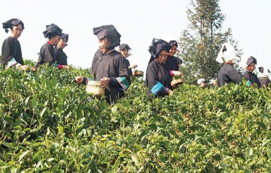 Una nueva plantación reivindica una rara variedad de té