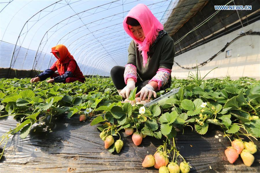 Récolte de fraises blanches dans le Liaoning