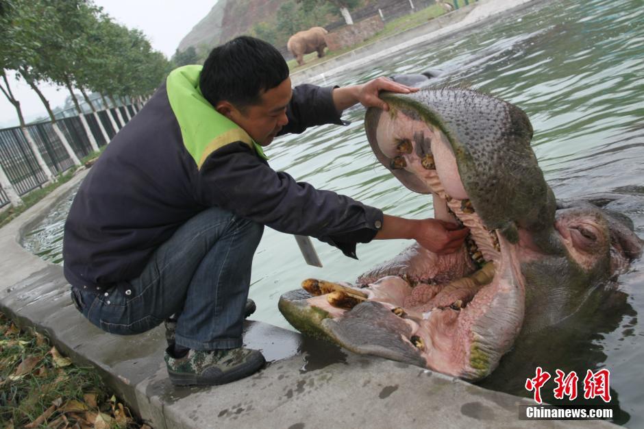 Chongqing : un hippopotame chez le dentiste...