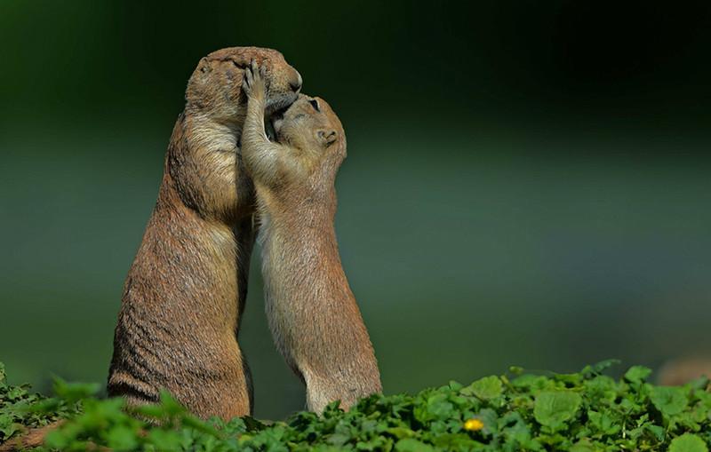 Tendres gestes chez les chiens de prairie