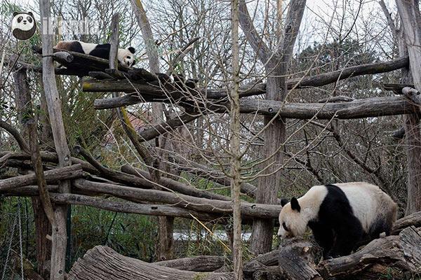 """大熊猫""""阳阳""""和""""龙徽""""在美泉宫动物园完成自然交配"""