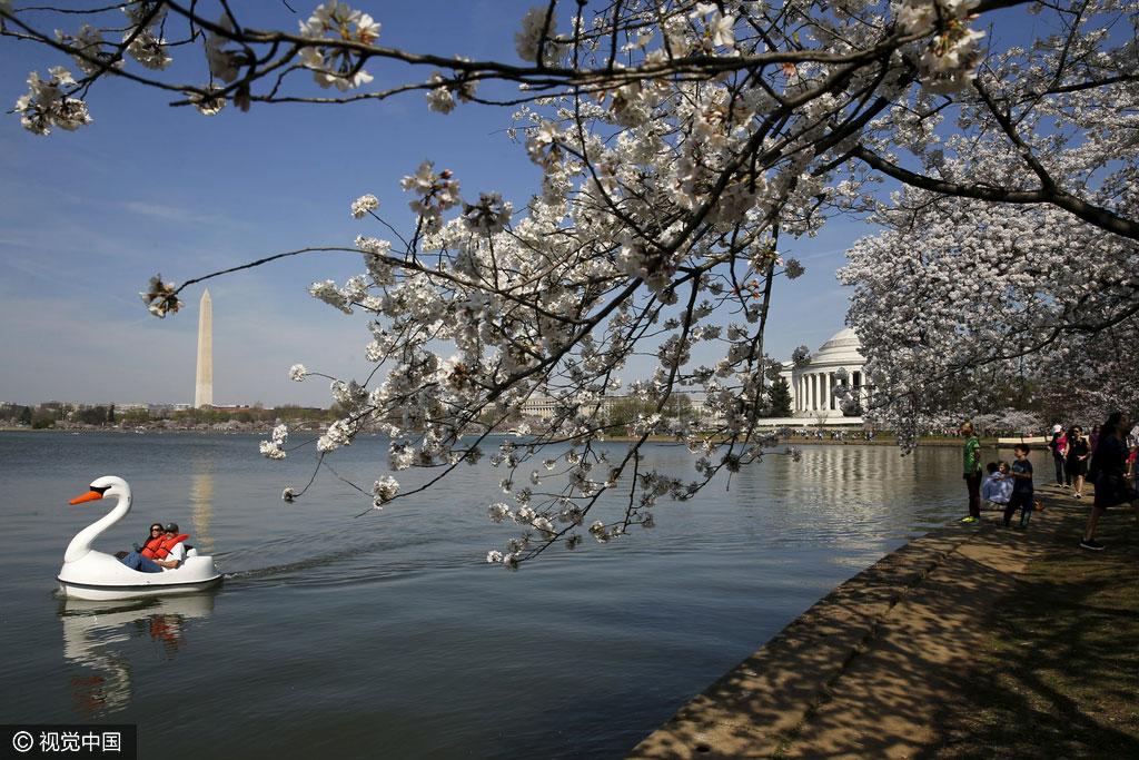 Des fleurs de cerisier s