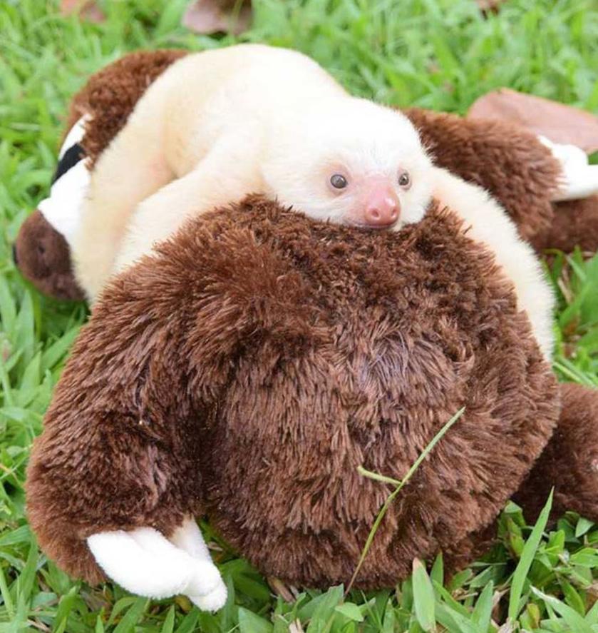 Un petit paresseux du Costa Rica prend un ours en peluche pour sa maman