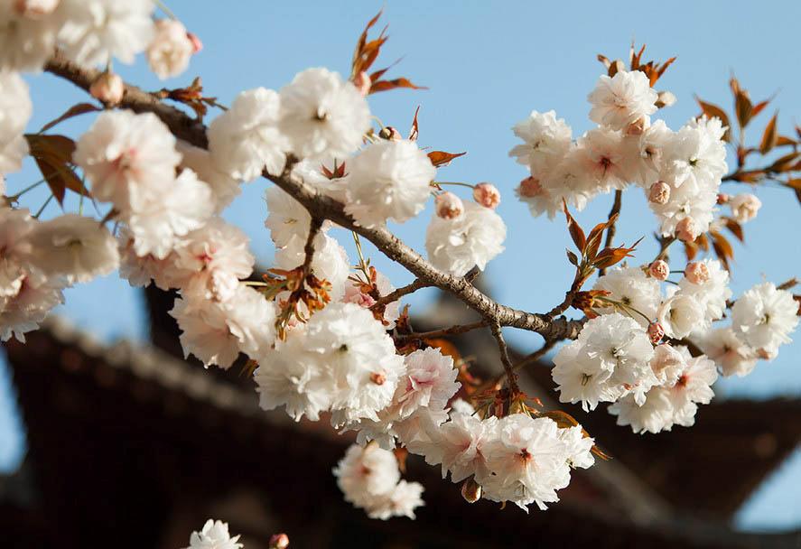 樱花步骤图解大全图解