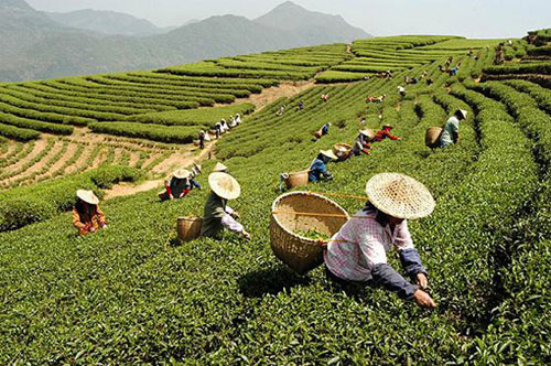 """The name """"white tea"""" comes from the fine white-silvery hairs on unopened buds of the tea plant, giving them a whitish appearance."""
