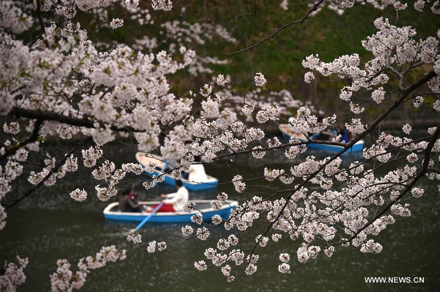Des touristes font une croisière pour profiter des cerisiers en fleurs à Tokyo au Japon, le 4 avril 2016. (Xinhua/AFP)