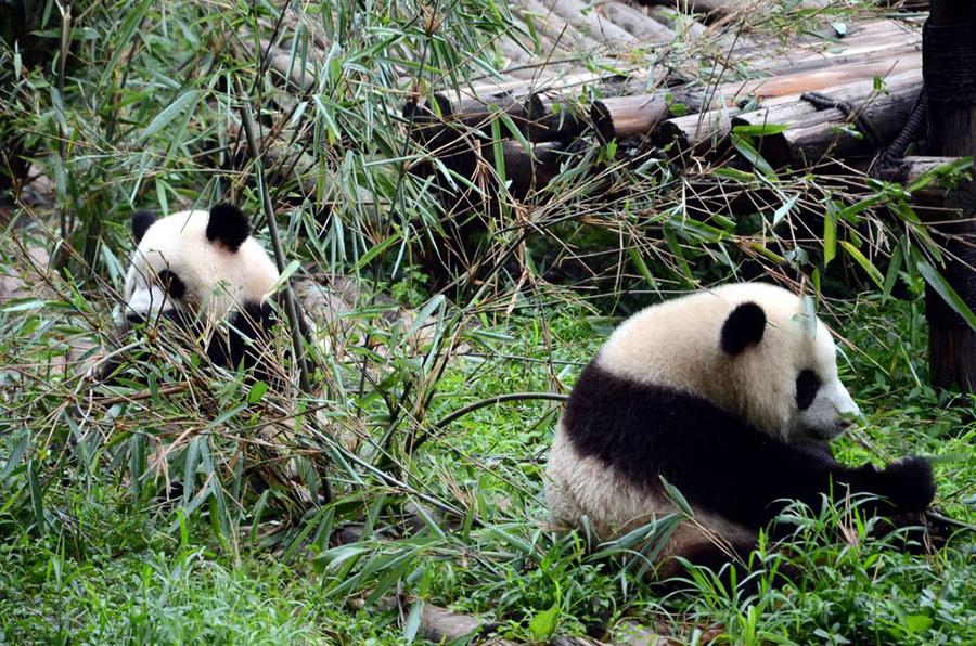 Китай стремится увеличить популяцию панд в неволе до 500 особей к 2020 году