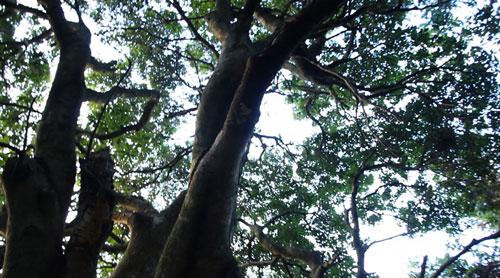 """密林中生长着经历过数百年风雨,而不倒的""""杨梅树王"""",最让人们感到不可"""