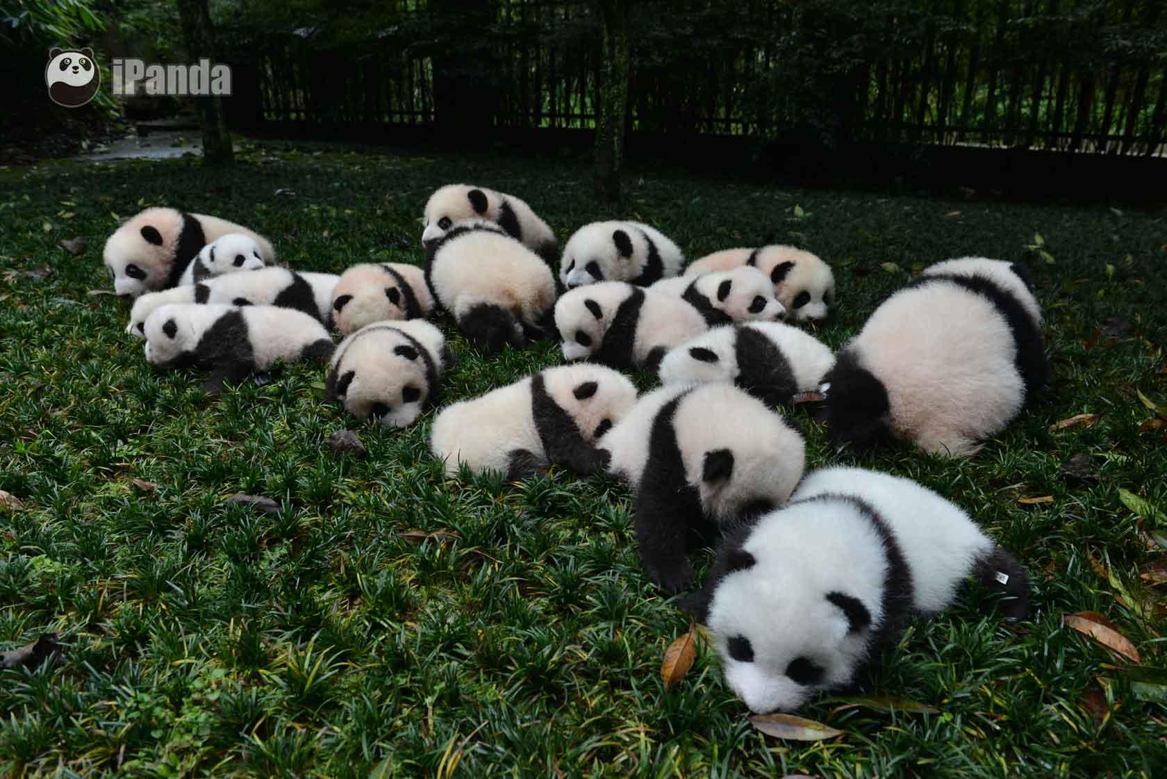 壁纸 大熊猫 动物 狗 狗狗 1680_1121
