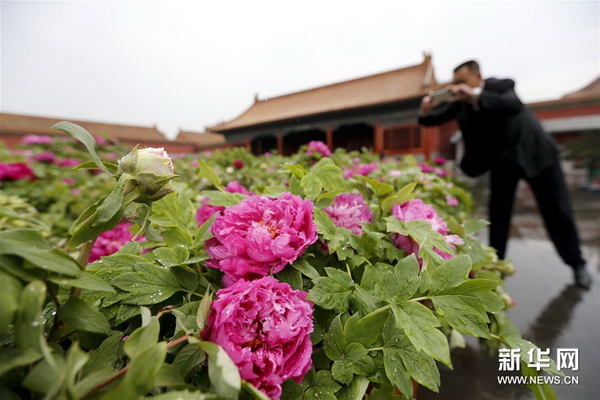 Spring has clearly arrived! Peony flowers from the Chinese city of Luoyang are being displayed alongside relics in the center of Beijing.
