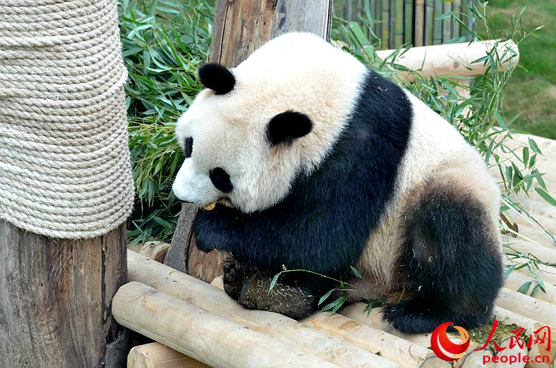 Two giant pandas from China are about to make their official debut in South Korea.