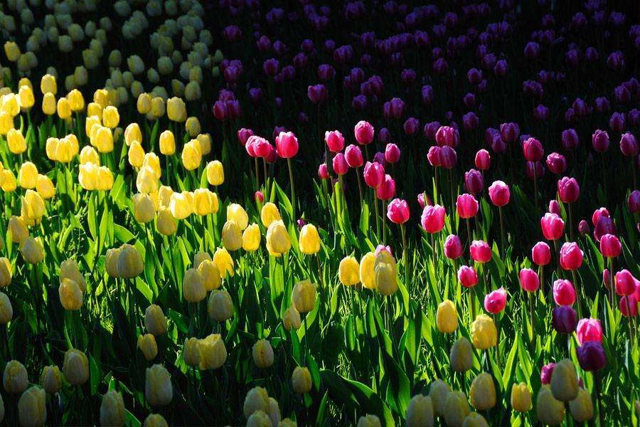 Фестиваль тюльпанов открылся в пекинском парке Чжуншань