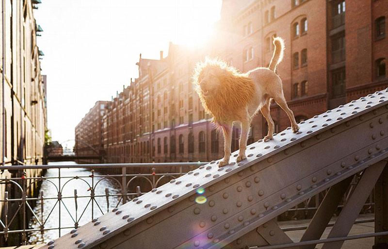 Insolite : Un lion ? Non, un chien très mignon !