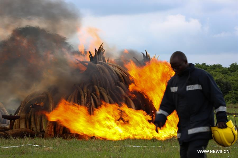 NAIROBI, April 30, 2016(Xinhua)-- A fireman walks past burning ivory in Nairobi, Kenya, on April 30, 2016. Kenya on Saturday torched at least 105 tons of ivory and 1.3 tons of rhino horn to reinforce Kenya