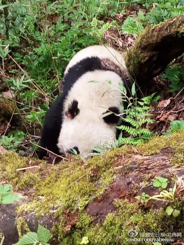 受伤的野生大熊猫