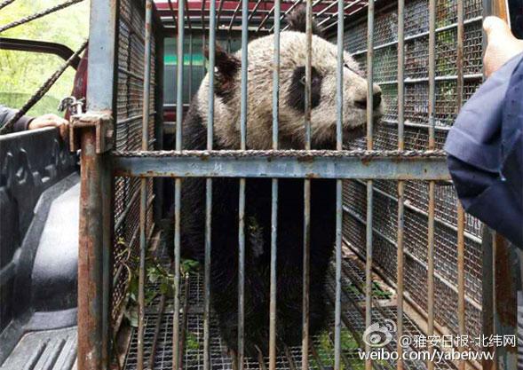 救治受伤的大熊猫