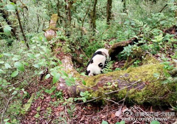 受伤的大熊猫