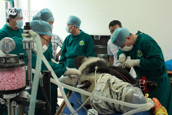 专家正在救治受伤的野生大熊猫