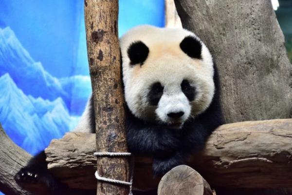 圆仔已经快3岁了,但最近会频繁的走动,食欲也下降,经过检查确认已经进入青春期。 图片来源于台湾联合新闻网
